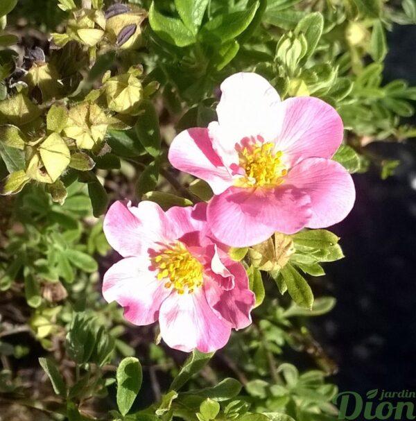 pottentilla-frutiosa-potentille-pink beauty