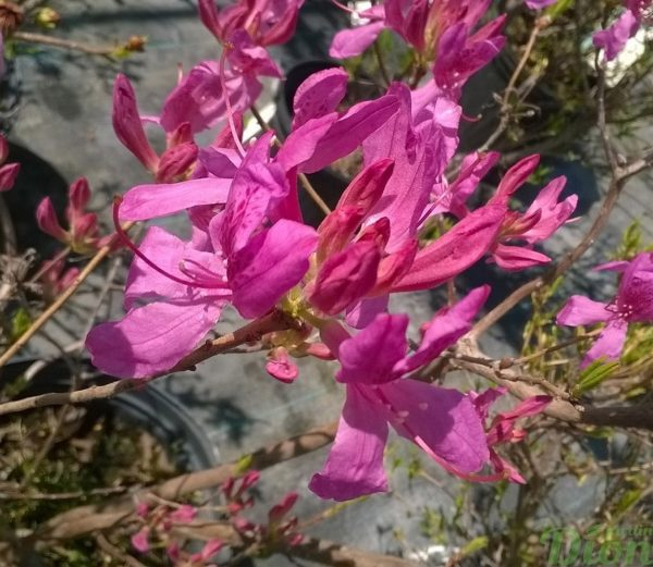 rhododendron-canadensis-rhododendron du canada