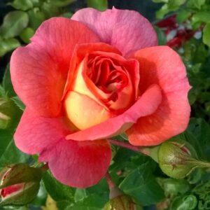 rosa-floribunda-rosier-brothers grimm-corail et jaune