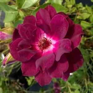 rosa-floribunda-rosier-burgundy iceberg-mauve
