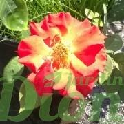 rosa-floribunda-rosier-céline dion
