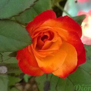 rosa-floribunda-rosier-charisma-rouge orangé