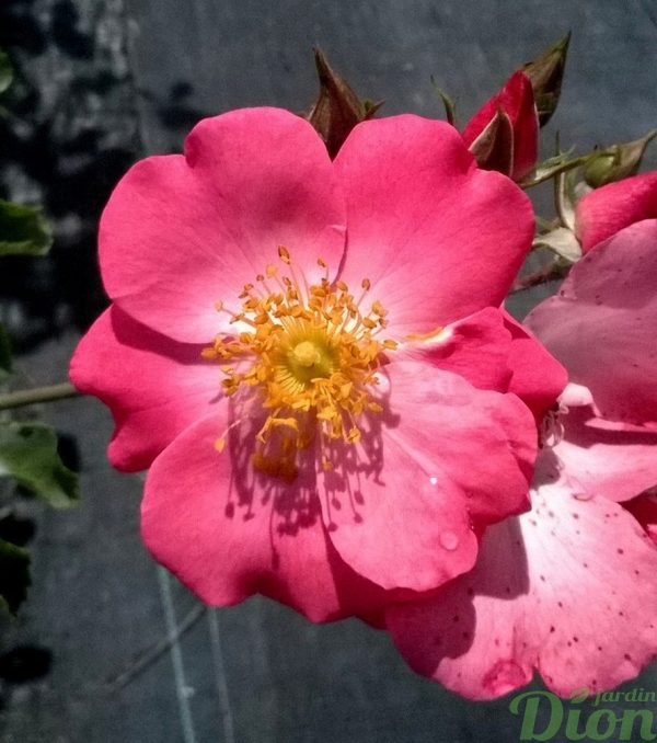 rosa-floribunda-rosier-chuckles