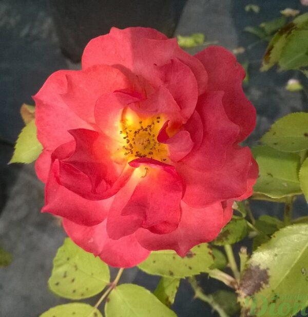 rosa-floribunda-rosier-cinco de mayo-rose-orangé