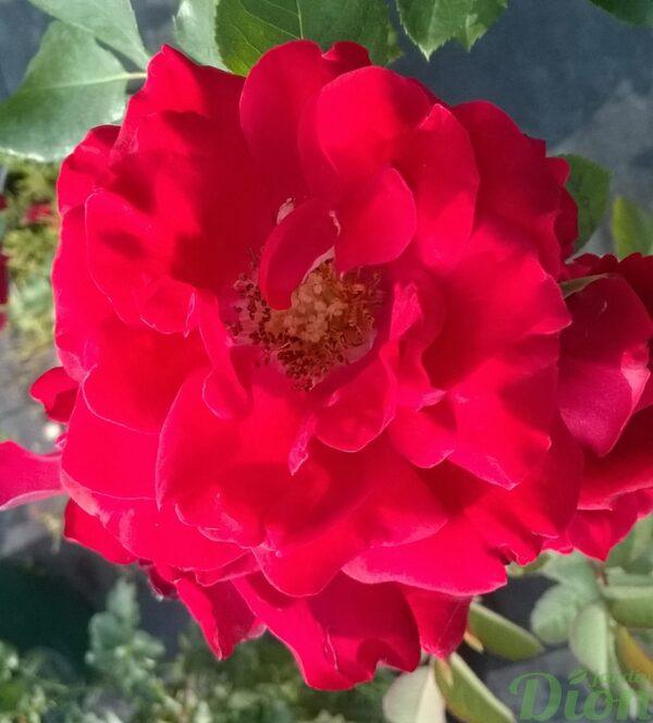 rosa-floribunda-rosier-tamango-rouge