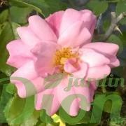 rosa-rosier-couvre-sol-flower carpet-apple blossom