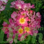 rosa-rosier-couvre-sol-pink drift