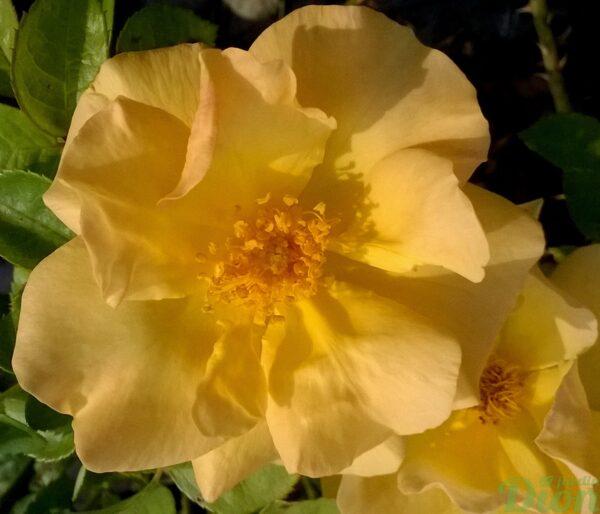 rosa-rustica-bill reid-rosier-rustique-jaune