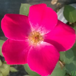 rosa-rustica-rosier-rustique-home run-rose foncé