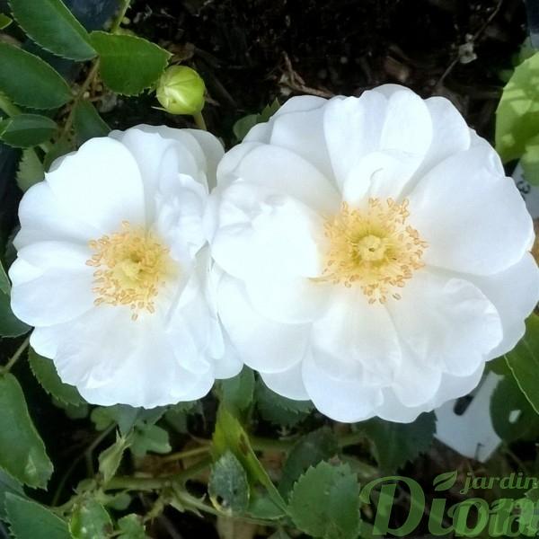 rosa-vigorosa-innocencia-blanc