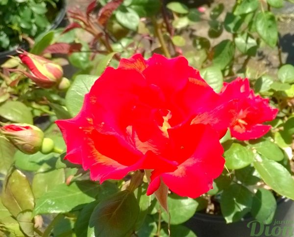 rosa_floribunda_celine dion_rosier