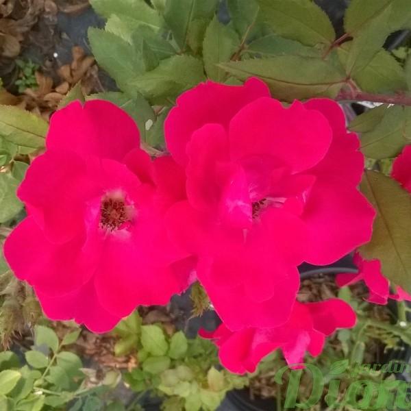 rosia-rustica-rosier-rustique-knockout