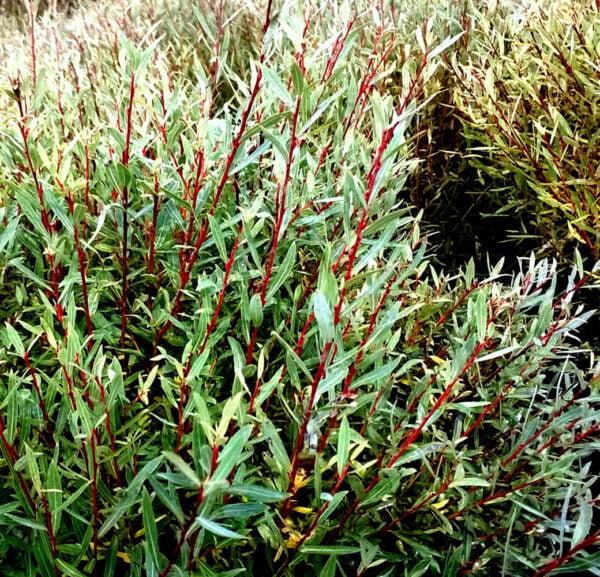 salix-purpurea-gracilis-saule-arctique-nain