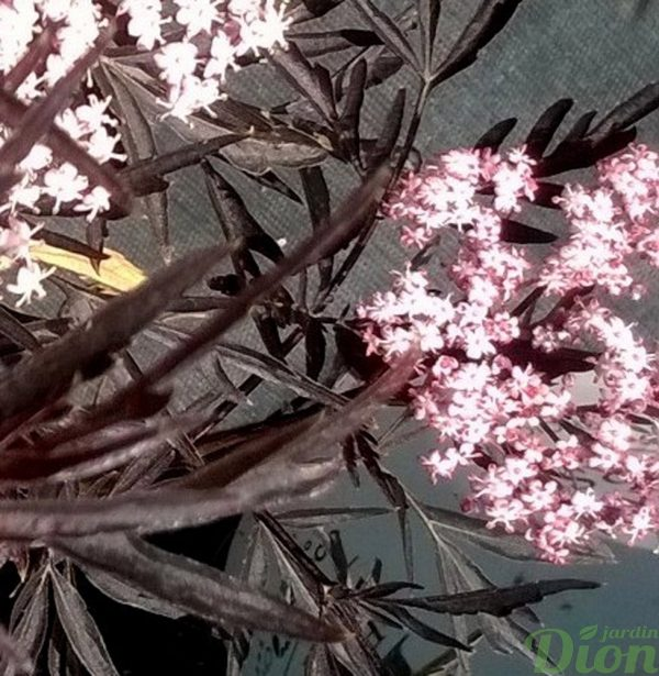 sambucus _nigra_black_lace_sureau_noir_fleurs