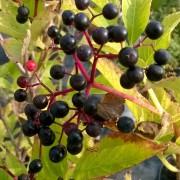 Fruits (baies de sureau