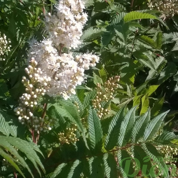 sorbaria-sorbifolia-fausse spirée-fleur-et-feuillage