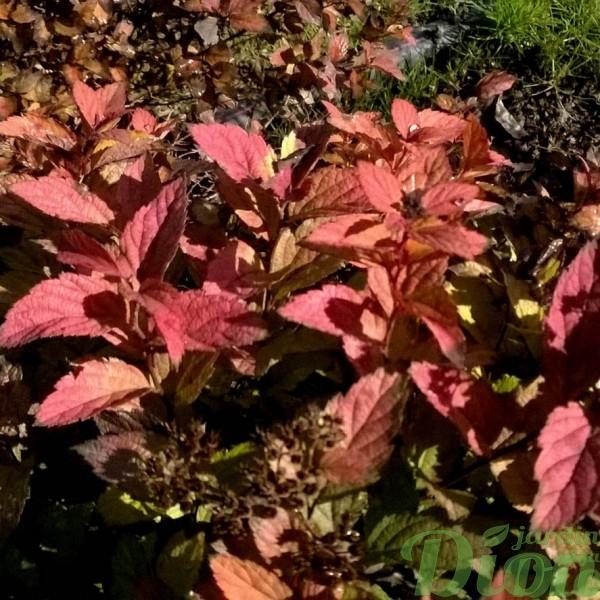 spiraes-japonica-spirée-magic carpet-automne