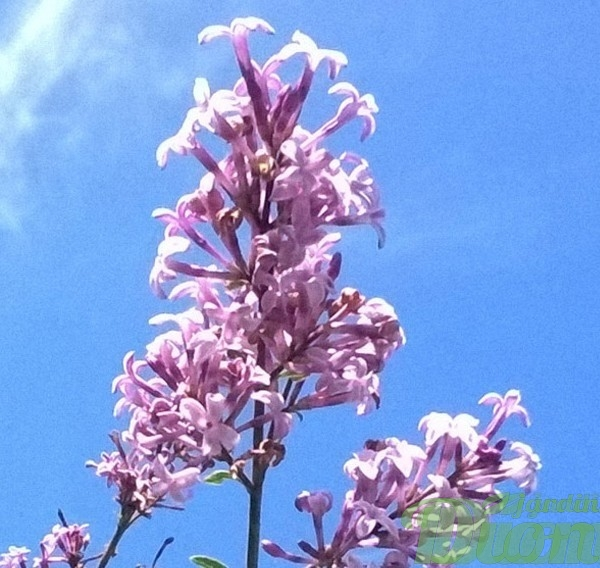 syringa-julianan hers-lilas pleureur-fleur