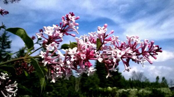 syringa-meyeri-palibin-lilas coréen nain-fleur