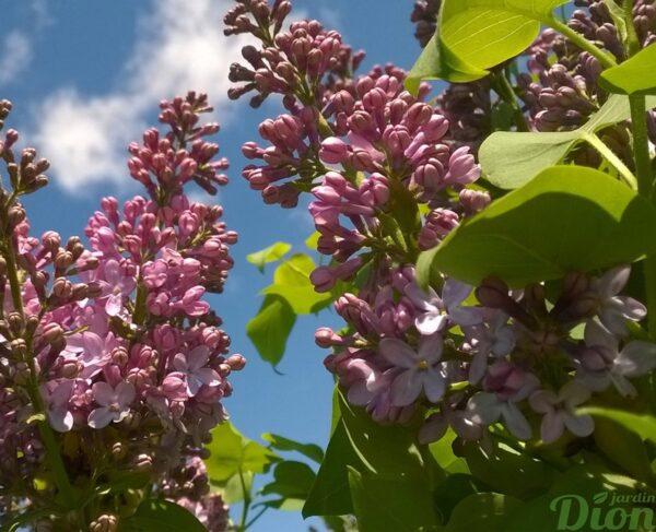 syringa-vulgaris-lilas-francais-burgundy queen-fleurs