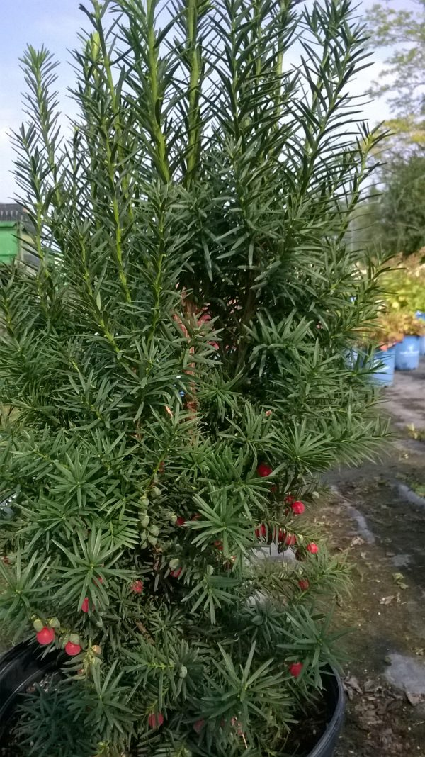 taxus-media-hicksii-if