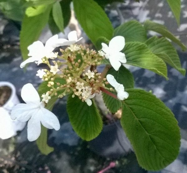 viburnum-plicatum-watanabe-viorne de chine-