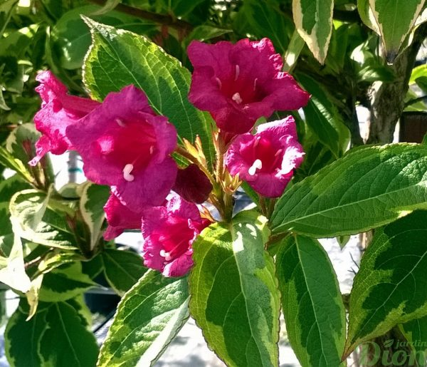 weigela-florida-french lace