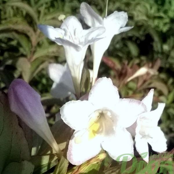 weigela-florida-sonic bloom pearl-blanc-fleurs blanches