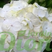 Hydrangea-macrophylla-blanc-hortensia.jpg