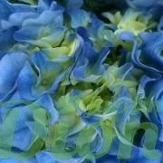 Hydrangea-macrophylla-bleu-hortensia (3)