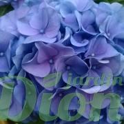 Hydrangea-macrophylla-bleu-hortensia (4)