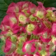 Hydrangea-macrophylla-rose-hortensia.jpg (2)