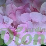 Hydrangea-macrophylla-rose pâle-hortensia