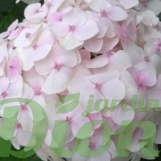 Hydrangea-macrophylla-rose pâle-hortensia.jpg (2)
