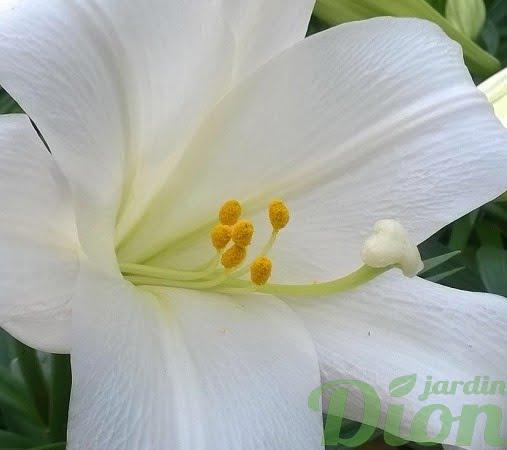 lys de paques-lys blanc-lys annuel (2)