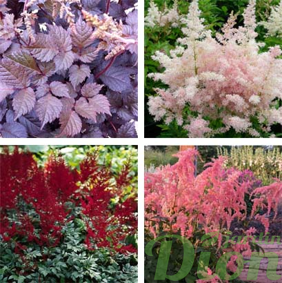 Astilbe 'Chocolate Shogun',  Younique 'Silvery pink', 'Glut' et 'Ostich plume'