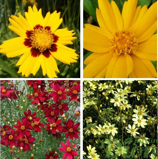 Coreopsis gr. 'Baby sun' et 'Jethro tull', rosea 'Red satin', vert. 'Moonbeam'
