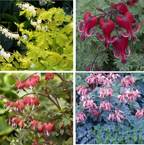 Dicentra spec. 'White gold', x 'Burning heart', spec. 'Valentine', form. 'Candy hearts'