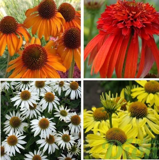 Echinacea 'Tiki torch', 'Hot papaya', 'White swan', 'Cleopatra'