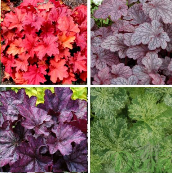 Heuchera'Rio,  'Plum pudding',  'Plum royale', 'Snow anger'