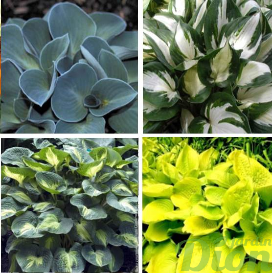 hosta 'Blue mouse ears', 'Fire & ice', 'Dream weaver', 'Sum & substance'