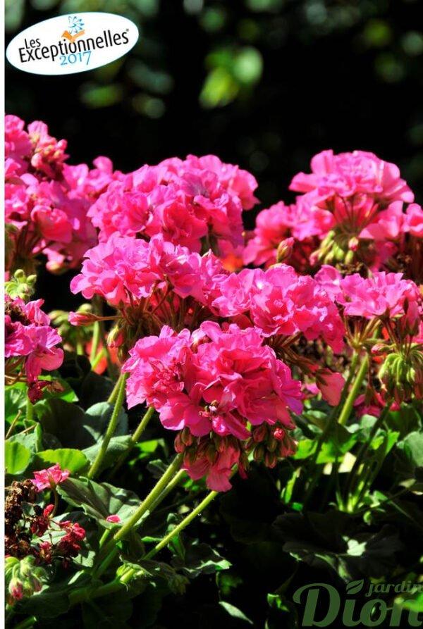 Pelargonium 'Calliope large pink'