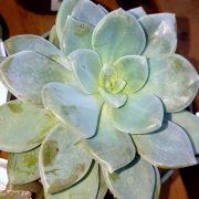 Echeveria-albicans-plante-grasse-succulente-soleil-terrarium
