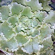 Echeveria-blue.curl-plante.grasse-succulente-terrarium-soleil