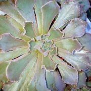 Echeveria-curlylocks-plante.grasse-terrarium