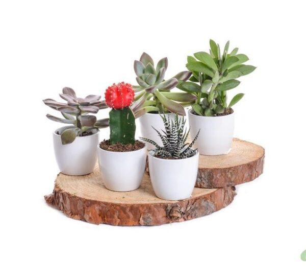 Plantes succulentes et cactus