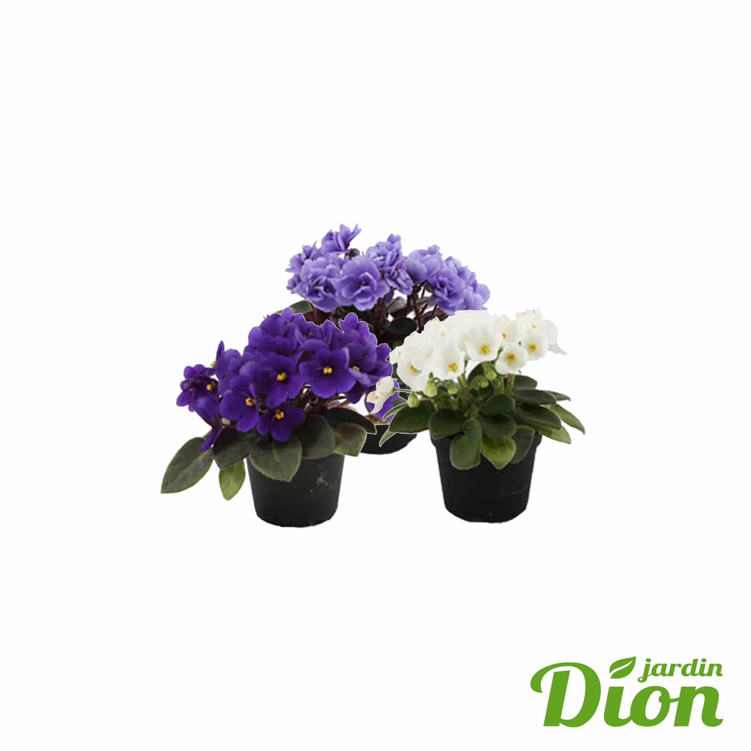 Violette africaine 2,5 pouces (9288D)