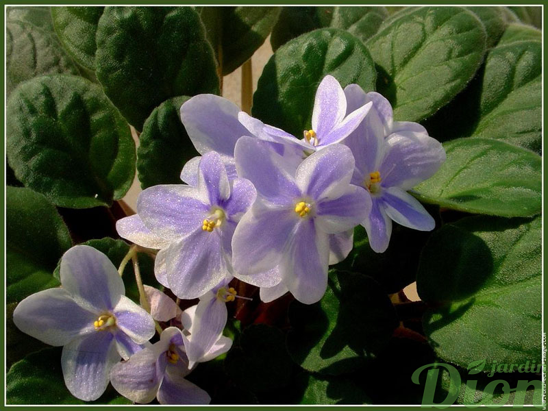 Violette africaine jardin dion for Violette africane