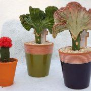 cactus-desert-tropicale-plein.soleil-cactus.greffe