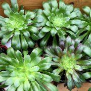 crassulaceae-aeonium-arboreum-holochrysum-plante.grasse-verte